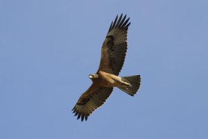 Bonellis-Eagle-stephen