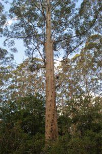 treesue