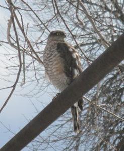 eurasian_sparrowhawk